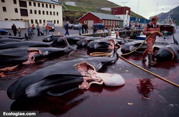 Balene-massacro-faroer