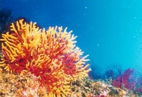 Corallogiallo