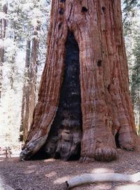 Sequoia1_1